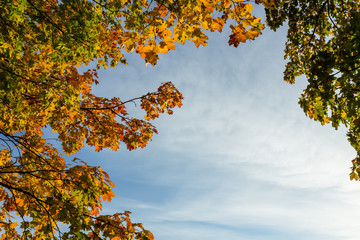Orange and green maple leafs against blue sky