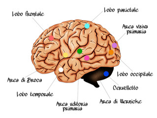 Brain Lobe Sections