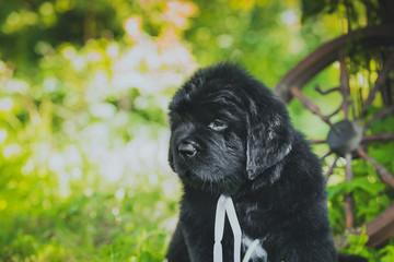 Newfoundland puppy, black, woolen