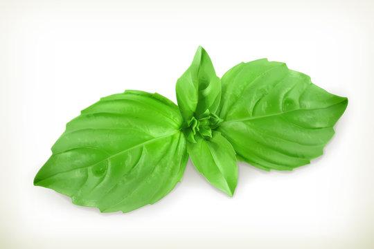 Basil leaves, vector illustration
