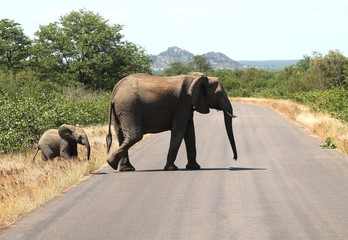 Printed kitchen splashbacks Elephant Overstekende olifant met haar kalf in Kruger National Park