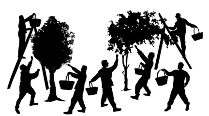 Silhouettes of people harvesting fruit with baskets