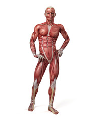 medical 3d illustration of the male muscular system