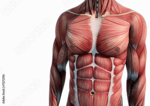 Oberkörper Anatomie Muskeln\
