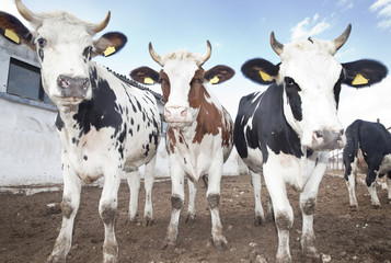 Cow Group