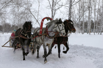 Three horses pulling sleds