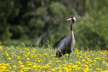 Common crane (Grus grus) in spring