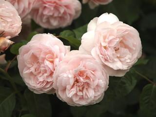 淡いピンクのバラ