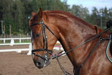 Chestnut sport horse portrait during riding