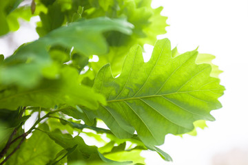 Green leaves of the oak tree in the sunshine