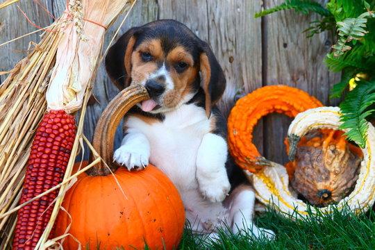 Beagle puppy licking pumpkin stem