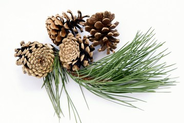 twig of pine tree and cones