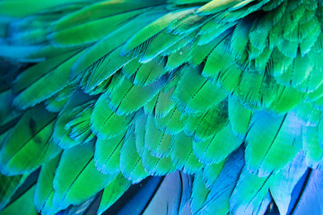 Blue of Macaw feather