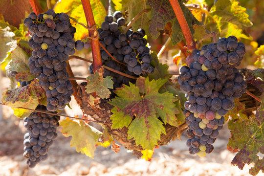 Rioja Tempranillo Grapes on the Vine