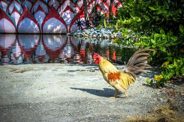 Free Range Cock near a pond