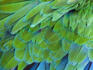 Green blue feather of Macaw bird