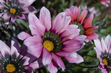 fiori83