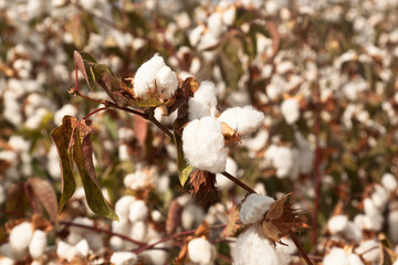 Good cotton crop