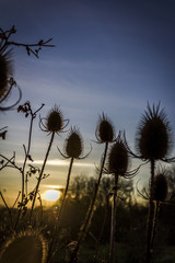 Silhouettes of teasels at winter sunset