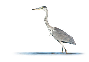 Grey Heron on White