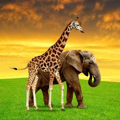 giraffe with elephant in the sunset
