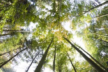 Obraz Korony drzew, jesień - fototapety do salonu