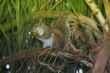 Squirrel on palm tree