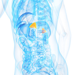 medical 3d illustration of the adrenal glands