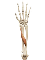 muscle anatomy - the abductor pollicis longus
