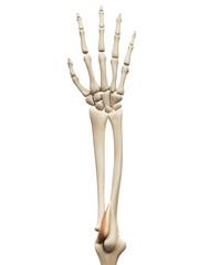 muscle anatomy - the anconeus