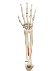 muscle anatomy - the flexor pollicis longus