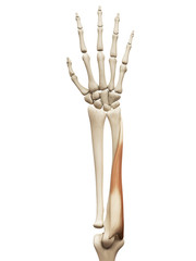 muscle anatomy - the flexor carpi ulnaris