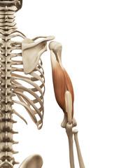 muscle anatomy - the triceps