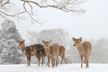 雪景色 飛火野の鹿
