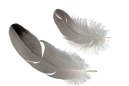 Common crane feathers set isolated on white