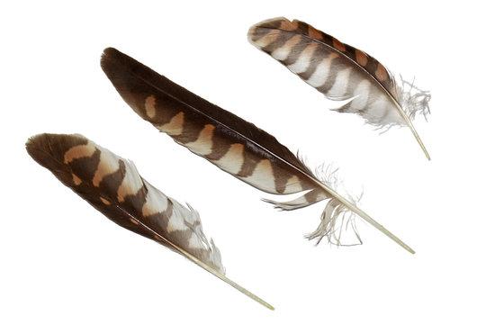 Kestrel falcon feathers set isolated on white