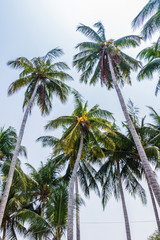 Palm trees with coconut on the beach.