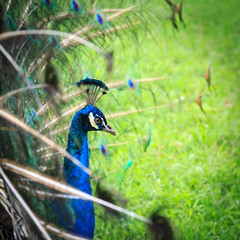 Peacock on grass background