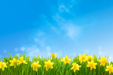 Foto op Canvas Narcis Daffodils against blue sky