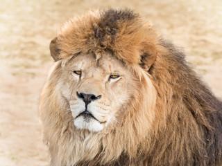 Fototapete - Wild lion