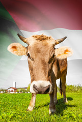 Cow with flag on background series - Sudan