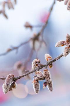 Weiche Blütenkätzchen, Winterende, Vorfrühling, Pollen