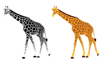 detailed illustration of giraffe - vector