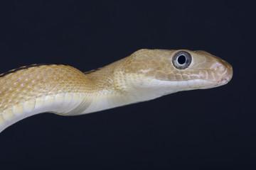Trans-Pecos rat snake / Bogertophis subocularis