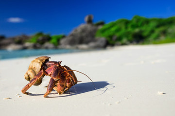 Big hermit crab on the tropical island