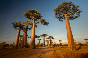 In de dag Baobab Baobabs