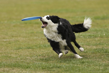 Foto auf AluDibond Hund De hond heeft de frisbee bijna te pakken.