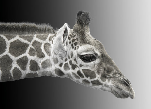 Black and white image of a young giraffe