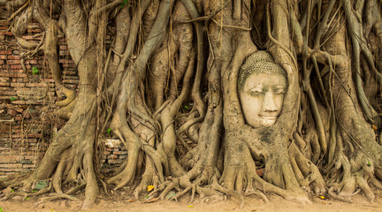 Buddha image head in the tree roots.