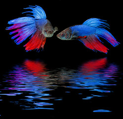 Betta splendens - siamese fighting fish on a black background